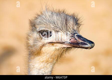 The head of a Emu Bird look forward 1 - Stock Photo