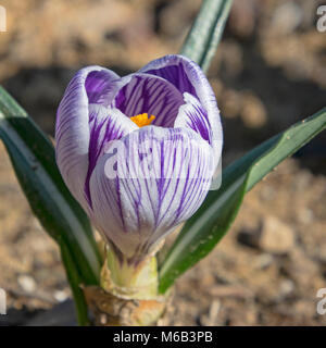 side view of beautiful purple and white striped crocus flower on blurred dirt background - Stock Photo
