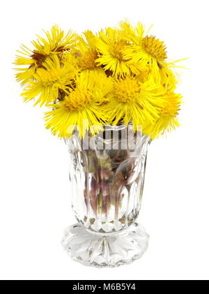 Coltsfoot flowers Tussilago farfara in a vase  isolated on white background - Stock Photo