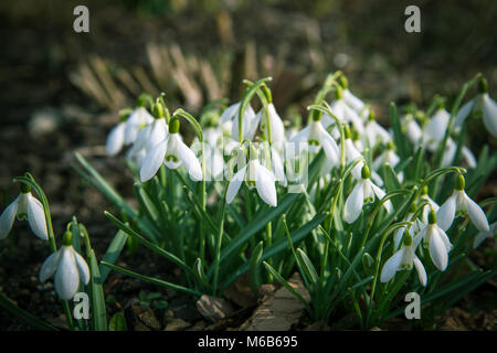 Beautiful snowdrop flowers Galanthus nivalis at spring forest. First spring day. - Stock Photo
