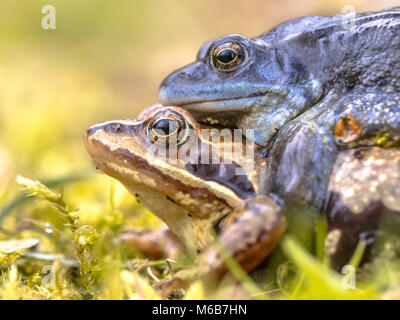 Moor frog (Rana arvalis) couple in amplexus mating position in the reproduction season seen from side - Stock Photo