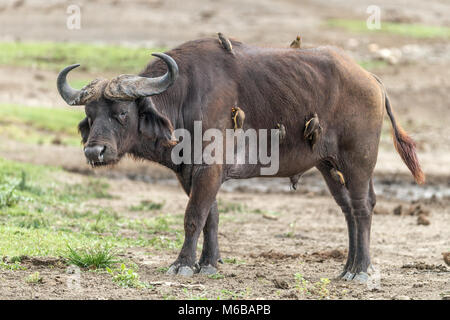 Cape Buffalo with yellow-billed oxpecker (Buphagus africanus) Queen Elizabeth National Park, Uganda, Africa - Stock Photo