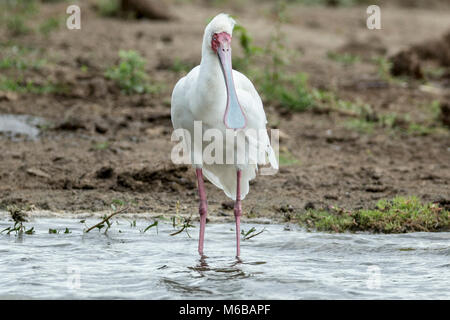 African spoonbill (Platalea alba) Lake Victoria, Queen Elizabeth National Park, Uganda, Africa - Stock Photo
