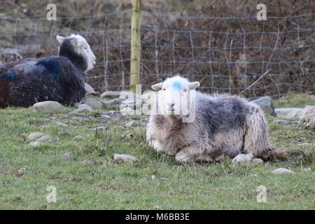 black and white sheep laying down on rocks in a field in winter in the English Lake District - Stock Photo