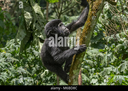 Young Mountain gorilla (Gorilla beringei beringei) is one of the two subspecies of the eastern gorilla. Playing. - Stock Photo