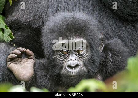 Infant Mountain gorilla (Gorilla beringei beringei) is one of the two subspecies of the eastern gorilla. Bwindi - Stock Photo
