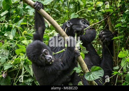 Mother (eating) and infant Mountain gorilla (Gorilla beringei beringei) is 1 of the 2 subspecies of the eastern - Stock Photo