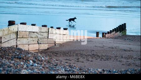 Dog running along beach, Worthing, West Sussex UK. - Stock Photo