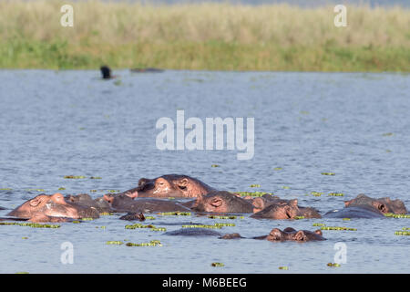 Hippopotamuses sleeping in Lake Victoria ,'Murchison's Falls National Park', Uganda, Africa - Stock Photo