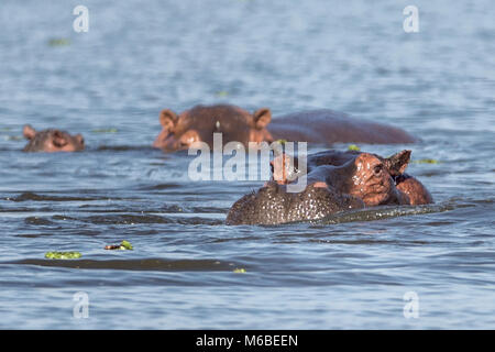 Hippopotamuses with babe, resting in Lake Victoria ,'Murchison's Falls National Park', Uganda, Africa - Stock Photo