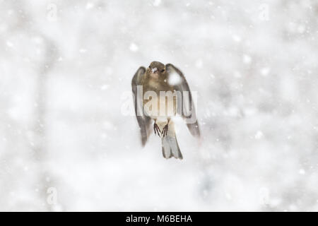 female chaffinch flying through snow - Stock Photo