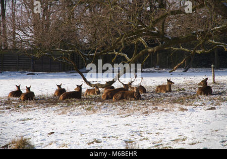 Herd of Red Deer sheltering from the snow in Bedfords Park in the London Borough of Havering in Essex. Stock Photo