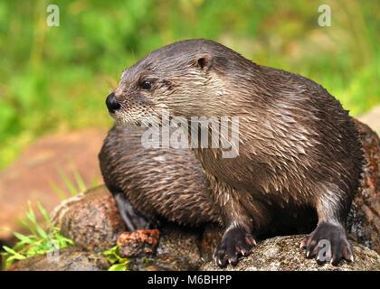 Eurasian Otter (Lutra lutra) sitting on top of rocks. Highland Wildlife park, Scotland - Stock Photo