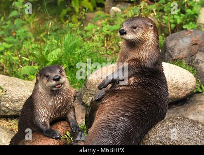 Pair of Eurasian Otters (Lutra lutra) sitting on top of rocks. Highland Wildlife park, Scotland - Stock Photo