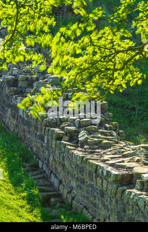 The backlit leaves of the sycamore in Sycamore Gap, Hadrian's Wall, Northumberland National Park, England - Stock Photo