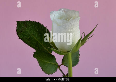 White rose and leaves misted with water against a pale pink background - Stock Photo