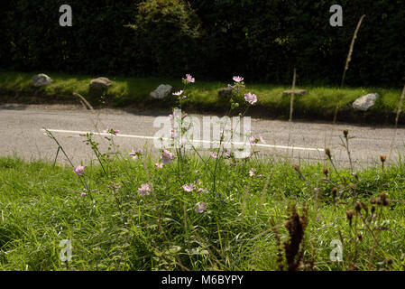 Musk-mallow, Malva moschata flowering on a grass verge - Stock Photo