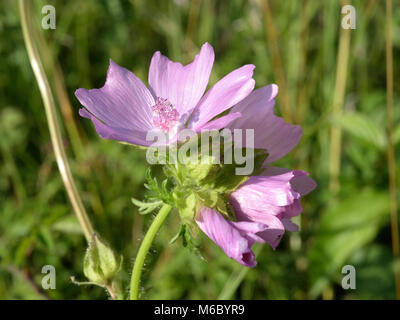 Musk-mallow, Malva moschata - Stock Photo