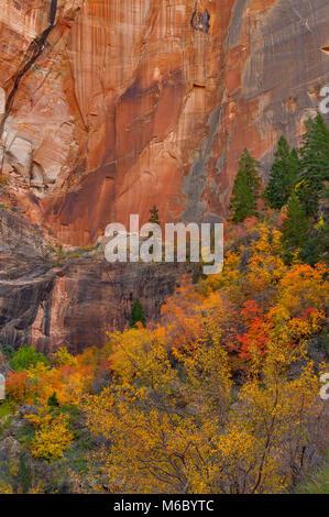 Bigtooth Maple, Acer grandidentatum, Echo Canyon, Zion National Park, Utah - Stock Photo