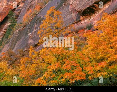 Bigtooth Maple, Acer grandidentatum, Zion Canyon, Zion National Park, Utah - Stock Photo