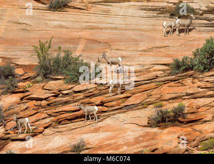 Bighorn Sheep, Zion National Park, Utah - Stock Photo