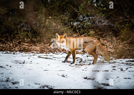 Red Fox looking for food in the snow on a woodland path in country park - Stock Photo