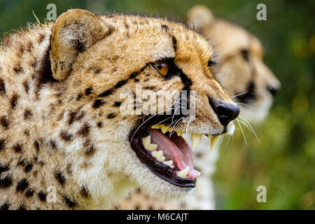 Close up head shot of Cheetah snarling with second one in background - Stock Photo