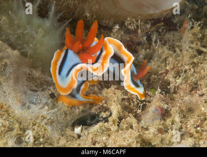 Anna's magnificent slug ( Chromodoris annae ) nudibranch crawling on corals of Bali, Indonesia - Stock Photo