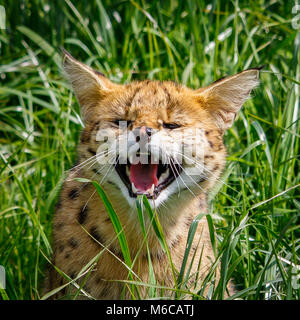 Bad tempered Serval snarling in grass - Stock Photo