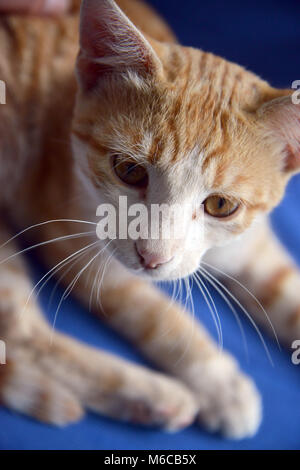 Picture of a brown Cute kitten on blue back - Stock Photo