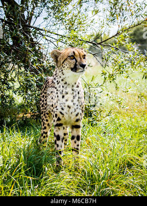 Cheetah standing tall in grass with tree background - Stock Photo