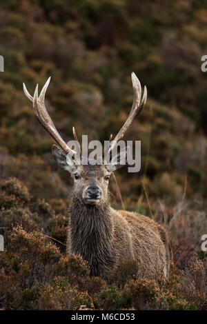 Red Deer stag, Applecross, Scotland - Stock Photo