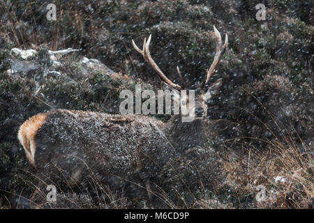 Red Deer stag in snow, Applecross, Scotland. - Stock Photo