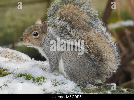 A grey squirrel (UK) in the snow.