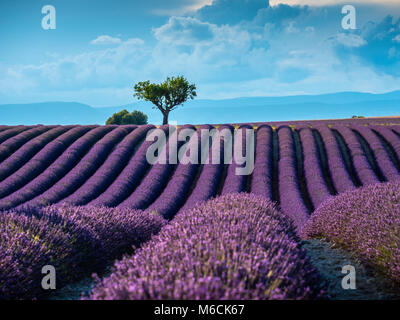 Lavender fields Valensole Plateau Forcalquier Alpes-de-Haute-Provence Provence-Alpes-Cote d'Azur France - Stock Photo