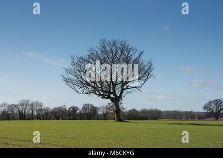 Single oak tree in winter growing in the middle of an arable field - landscape view - Stock Photo