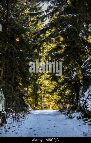 Forest winter landscape, sun shining through trees in the forest. - Stock Photo