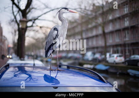 Gray heron bird standing on a car roof in Amsterdam, the Netherlands - Stock Photo
