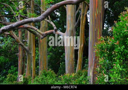 Grove of Rainbow Eucalyptus on Maui, Hawaii - Stock Photo