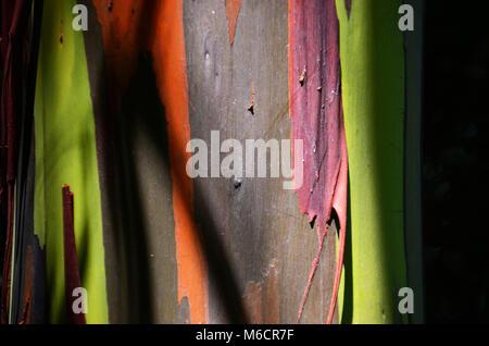 Rainbow Eucalyptus along the Hana Highway on Maui, Hawaii - Stock Photo