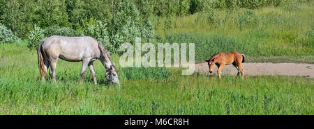 Mare and her cute foal grazing on a green summer meadow - Stock Photo