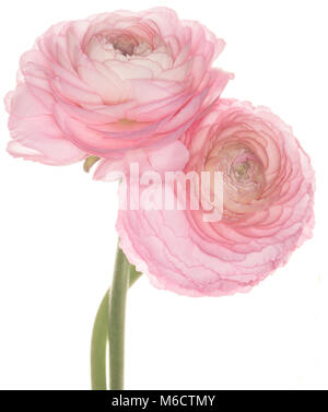Pink Ranunculus asiaticus isolated on a white background - Stock Photo