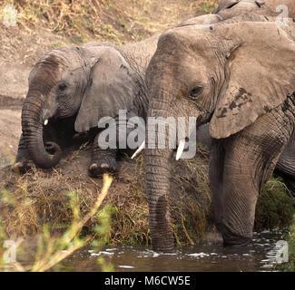 Mother and baby bush Elephants (Loxodonta africana). Serengeti National Park, Tanzania. - Stock Photo