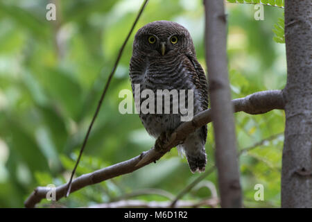 jungle owlet who sits on a tree branch in the forest more often on a wintery cloudy day - Stock Photo