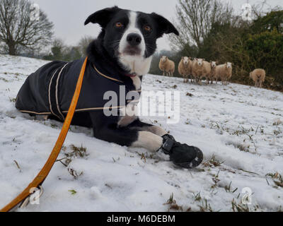 Derbyshire, UK, 3rd March. 2018. UK Weather: A short-haired Border Collie dog wearing a coat & snow boots to protect - Stock Photo