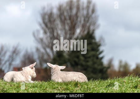 two lambs lying together on the lawn with trees in the background - Stock Photo