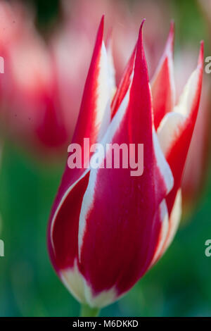 'Aladdin's record' Lily Flowered Tulip, Liljetulpan (Tulipa gesneriana) - Stock Photo