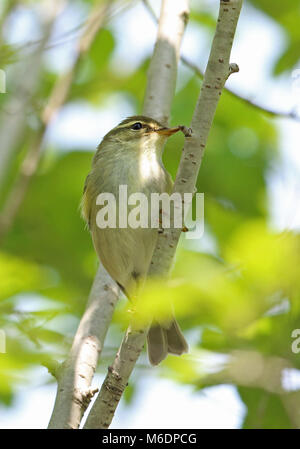 Kamchatka Leaf-warbler (Phylloscopus examinandus) adult perched on branch  Hebei, China       May - Stock Photo