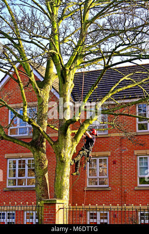 Tree surgeon with chainsaw lopping off branches in rural coastal town - Stock Photo