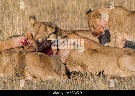 Pride of lions feeding on prey (wildebeest) in savanna, enjoying fresh meat, blood and flies is all over theirs - Stock Photo